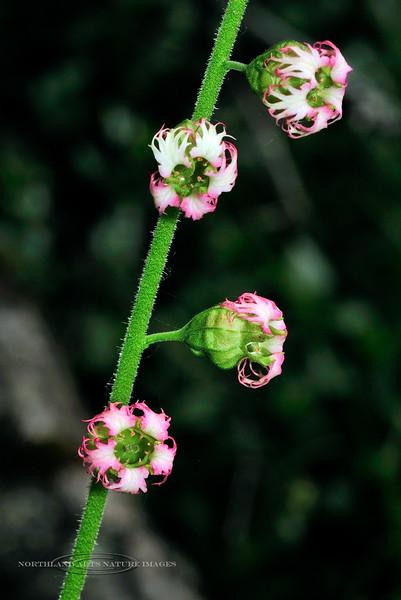 52.Tellima grandiflora 2010.6.24#031. Fringe Cups. Mid Turnagain Arm, Cook Inlet, Alaska.