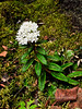 69.Ledum palustris, groenlandicum 2010.6.18#035. The Labrador Tea. Unusually large leaves on this plant. Little Susitna River near the Parks Highway, Alaska.