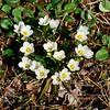 42.Claytonia tuberosa 2015.6.22#190. The Tuberous or Beringian Spring Beauty. Mile 21 Teller Road, Seward Peninsula, Alaska.