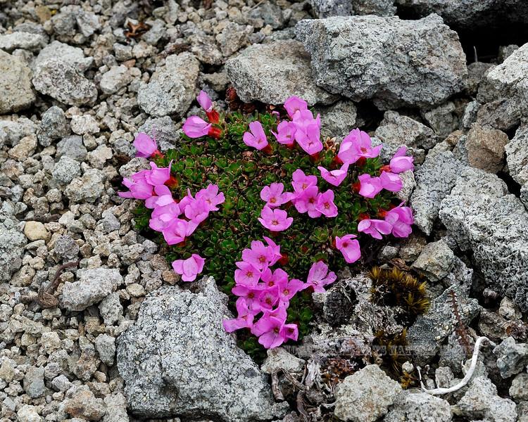 71.Douglasia Gormanii 2008.6.29#127.3X. A small cushion of Gorman's Dwarf-primrose growing in andesite scree high on Thoro Ridge, Denali Park Alaska.