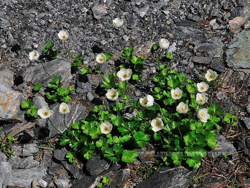 46.Anemone parviflora 2011.7.22#071. Thompson Pass, Richardson Highway Alaska.