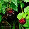 53.Rubus spectabilis 2010.7.27#058. The Salmonberry. Powerline Trail, Mid Turnagain Arm, Alaska.