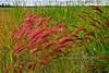 25.Hordeum jubatum 2011.7.21#050. The Squirreltail Grass. Kenai River, Alaska.