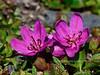 69.Rhododendron camtschaticum glandulosum 2015.6.21#057. The Kamchatka Rhododendron. Near Wooly Lagoon, Seward Peninsula, Alaska.