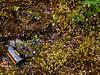 69.Vaccinium caespitosum 2014.8.6#149. The Dwarf Bog Blueberry. The smallest blueberry plant that grows in Alaska. Turnagain Pass, Kenai Peninsula, Alaska.