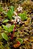 67.Pyrola grandiflora 2014.6.24#216. The Large-flowered Wintergreen. Savage Canyon, Denali Park Alaska.