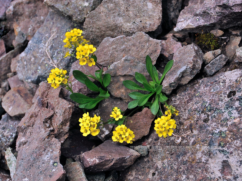 "49.Draba stenoloba, maybe 2011.6.30#104. Just below the ""Gunsight"" on Sheep Mountain,Talkeetna's  Alaska."