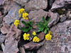 49.Draba stenoloba, maybe. Talkeetna Mountains, Alaska. #630.104. 3x4 ratio format.