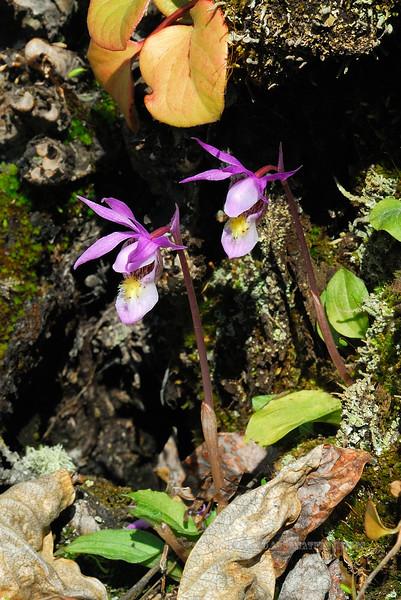 32.Calypso bulbosa 2008.5.27#040. Calypso Orchid or Fairy Slipper. King Mountain campground, South Central, Alaska.