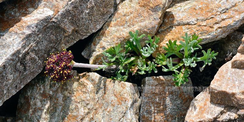 89.Artemisia globularia 2014.6.29#264. The Purple Wormwood. Mount Healy's northeast side, Alaska Range, Alaska.