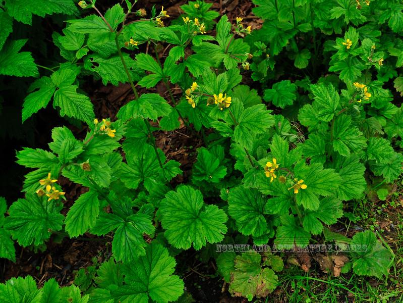 53.Geum macrophyllum,ssp. macrophyllum 2010.7.4#007. The Large Leaf Avens. Valdez, Alaska.