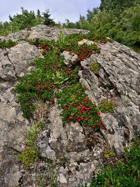 69.Arctostaphylos uva-ursi 2014.8.6#080. The Kinnikinnick. Wiindy Point Turnagain Arm, Alaska.