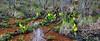 27.Lysichiton americanum 2011.5.18#025. Yellow Skunk Cabbage. Nash Road, Seward Alaska.