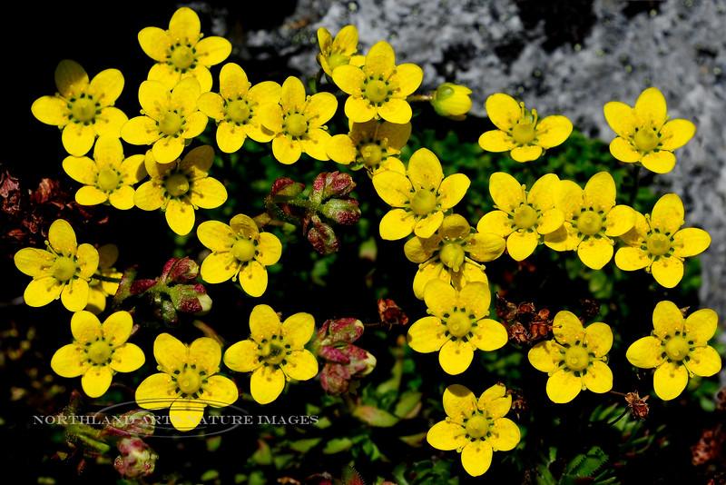 52.Saxifraga serpyllifolia 2012.6.30#309. The Thyme-Leaf Saxifrage. Primrose Ridge, Denali Park Alaska.