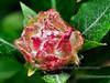 "33.Willow ""Rose"" on Salix Barklayi 2011.7.23#295. Fish Creek near Summit Llake, Eastern Alaska Range, Alaska."