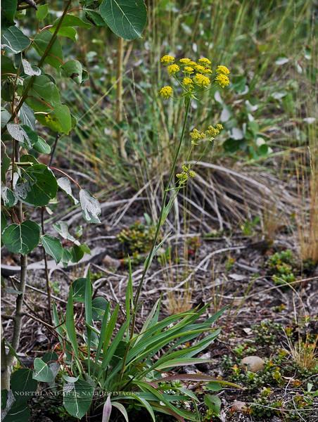 65.Bupleurum triradiatum arcticum 2006.7.13#0105. The Thoroughwax. Alaska highway near Delta Junction, Alaska.