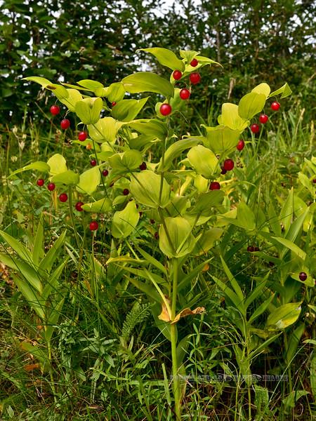 30.Streptopus amplexifolius 2014.8.6#072. The Watermellon Berry. Near Windy Point, Turnagain Arm Alaska.