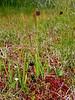 68.Empetrum nigrum 2014.8.6#097. Crowberry. In a typical boggy habitat with Sphagnum mosses, Tofieldia glutinosa and Gentiana douglasiana. Turnagain Pass, Kenai Peninsula Alaska.