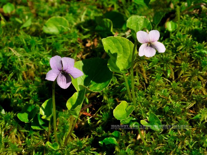 60.Viola epipsela 2010.7.17#031. The Marsh Violet is common in Alaska. Turnagain Pass, Kenai Peninsula, Alaska.