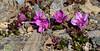 69.Rhododendron camtschaticum glandulosum 2015.6.22#224. The Kamchatka Rhododendron. Near Wooly Lagoon, Seward Peninsula, Alaska.