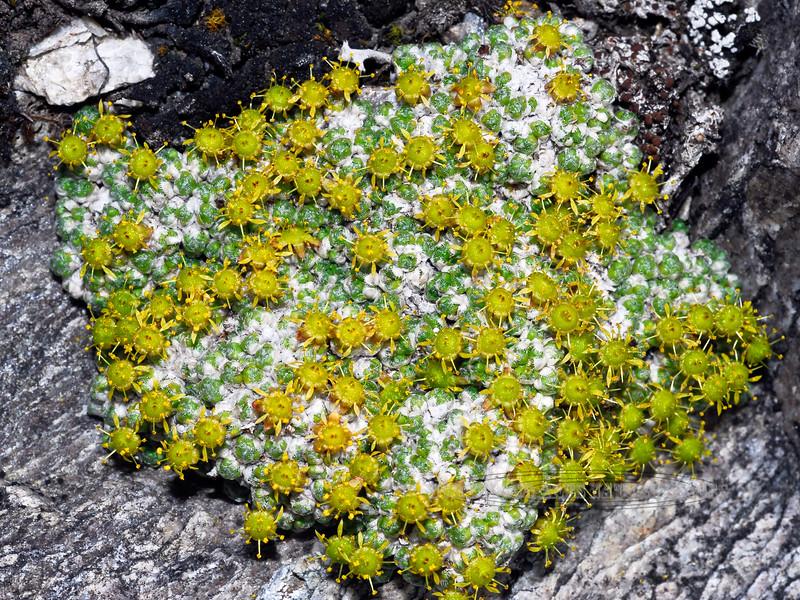"52.Saxifraga eschscholtzi 2008.6.14#014. Eschscholtz Saxifrage is an odd plant but interesting with it's ""sputnik"" like flowers. Savage Rock, Denali Park Alaska"