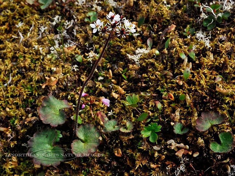 52.Saxifraga punctata,nelsoniana 2012.7.10#115., the Cordate-Leaved Saxifrage. Phillip Smith Mountains, Brooks Range, Alaska.