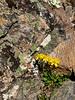 89.Senecio conterminous 2014.6.29#160. Mount Healy's northeast side,  Alaska Range, Alaska.