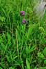 30.Allium schoenoprasum 2010.7.30#004. The Wild Chives. Turnagain Pass, Kenai Peninsula, Alaska.