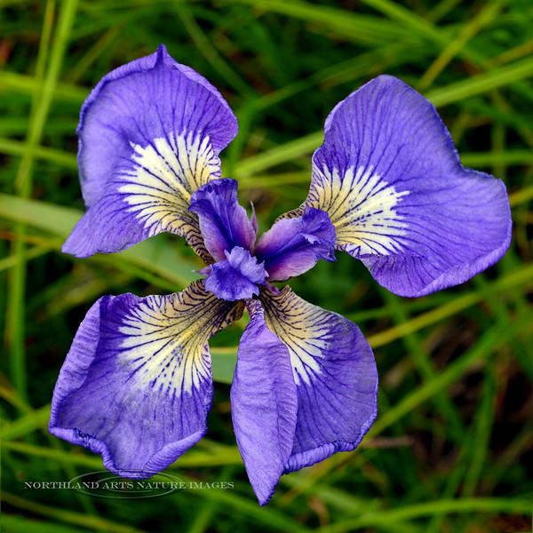 31.Iris setosa 2014.7.15#025. A wild Iris with 4 falls and three normal inner petals. Turnagain Pass, Kenai Peninsula Alaska.