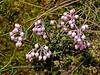 69.Andromeda polifolia 2006.5.30#0259. The Bog Rosemary. Skilak Lake road, Kenai Peninsula, Alaska.