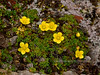 52.Saxifraga serpyllifolia 2014.6.28#042. The Thyme-leaf Saxifrage. Primrose Ridge, Denali Park Alaska.