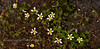 46.Ranunculus aquatilis. The first time I've had an opportunity to capture images of White Water Crowfoot where I didn't have to wade into deep water. It usually grows on very slow moving streams and ponds. Talkeetna Mtn's.,Alaska. #715.075.