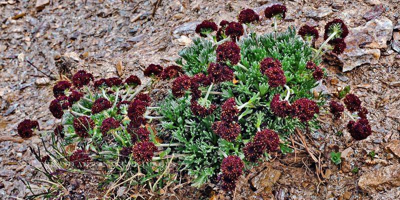 89.Artemisia globularia 2007.6.30#315. The Purple Wormwood. Mount Healy's northeast side, Alaska Range, Alaska.