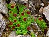 51.Sedum rosea 2014.6.24. Rose Wort, Rose Root or King's Crown. Savage Canyon west side, Denali Park Alaska. Range, Alaska.