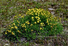 53.Potentilla biflora 2012.7.12#053. Two-flowered Cinquefoil forming quite a large bush on the open tundra. Atigun Pass, Brooks Range Alaska.