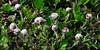 89.Antennaria monocephala 2010.7.12#172. Common name is Pussy Toes. Summit of Hatcher Pass, Alaska.