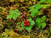 53.Rubus pedatis 2013.8.15#068. The Trailing Raspberry. Upper Palmer Creek near Hope, Kenai Mountains, Alaska.