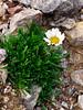 89.Chrysanthemum integrifolium 2014.7.9#204. The Arctic Daisy or Entire leaf Chrysanthemum. Mount Healy's northeast side, Alaska Range, Alaska.