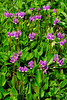 71.Dodecatheon pulchellum 2011.7.10#065. Commmonly called Shooting Star. Eklutna Flats, Alaska.