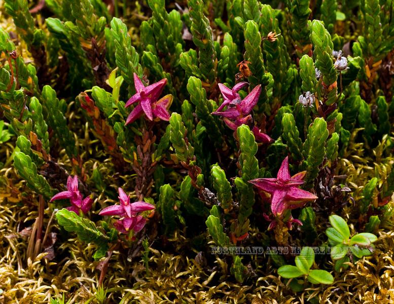 69.Cassiope tetragona 2011.7.23#255. The Bell Heather. Gakona Ridge, Eastern Alaska Range, Alaska.