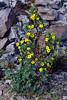 53.Potentilla fruiticosa 2013.6.29#104. The Shrubby Cinquefoil. Mount Healy's north east side, Alaska.