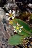 52.Saxifraga reflexa 2014.6.28#085. The Refexed Saxifrage. Savage Canyon, Denali Park Alaska.