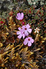 71.Douglasia Gormanii 2007.5.19#0061. The Gorman's Dwarf-primrose. West side Savage Canyon, Denali Park Alaska.