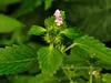 78.Galeopsis bifida 2010.7.27#025. Hemp Nettle. Mid Turnagain Arm, Alaska.