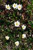 53.Dryas integrifolia 2009.6.9#037. Entire leaf Avens near Wiseman, south side Brooks Range, Alaska.