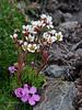 52.Saxifraga caespitosa 2006.6.29#0330. The Tufted Saxifrage. Sheep Mountain, Talkeetna's Alaska.