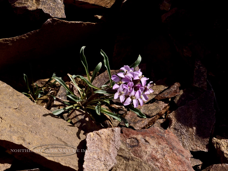 49.Erysimum pallasii, the Pallas Wallflower. From a small disjunct group of these plants that occur in the Alaska Range far from their main range on the Seward Peninsula and Brooks Range in Alaska. #528.407.