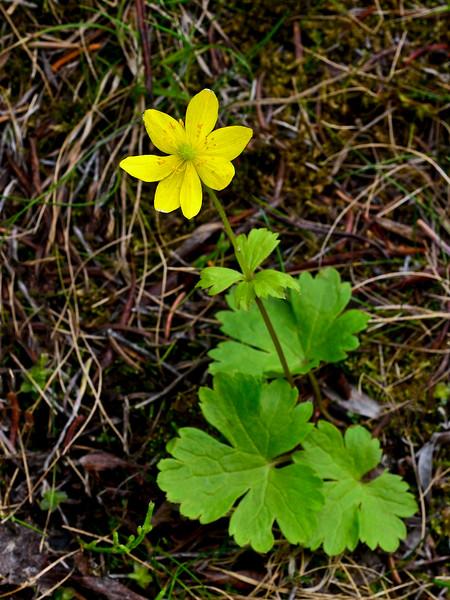 46.Anemone Richardsonii 2014.6.22#029. Richardson's Anemone. Mendeltna Creek, Nelchina Basin Alaska.