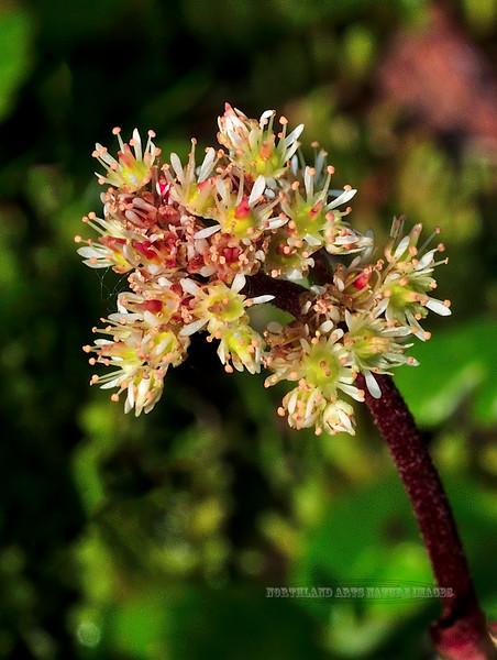 52.Leptarrhena pyrolifolia 2010.7.13#104. The Leather leaf Saxifrage. Hatcher Pass near the Independece Mine, Alaska.