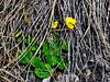 60.Viola biflora 2008.6.14#123. Small Yellow Violet. Lower slope of Thoro Ridge, Denali  Park, Alaska.